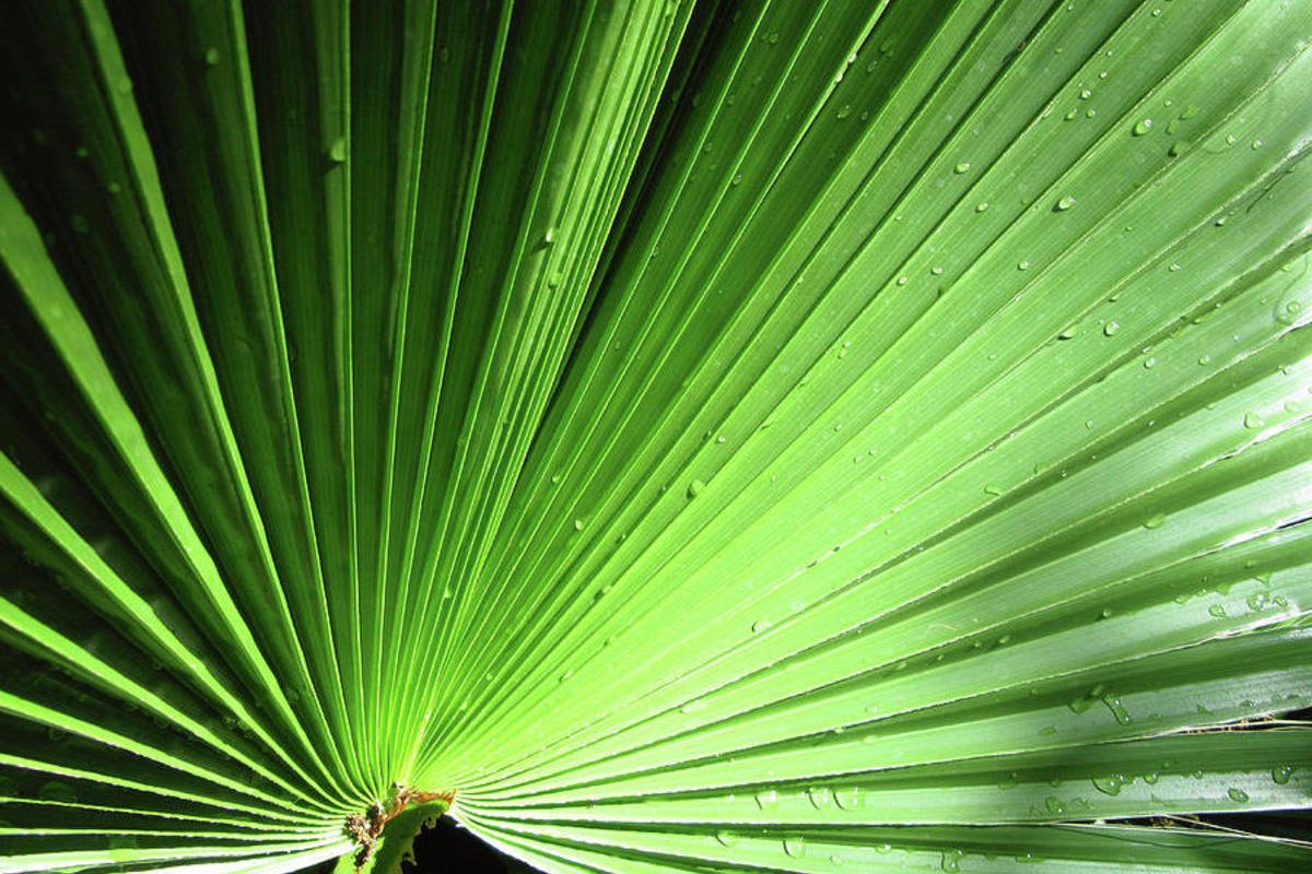 Fan Palm Straw